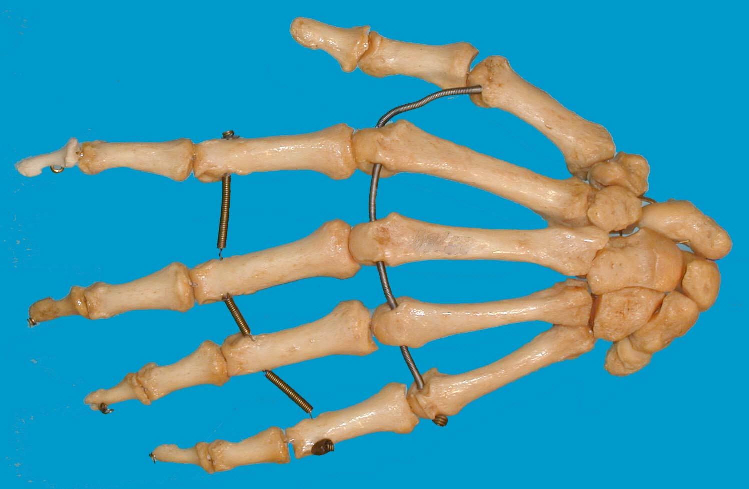 Anatomie der Hand   Gitarrenunterricht in Frankfurt