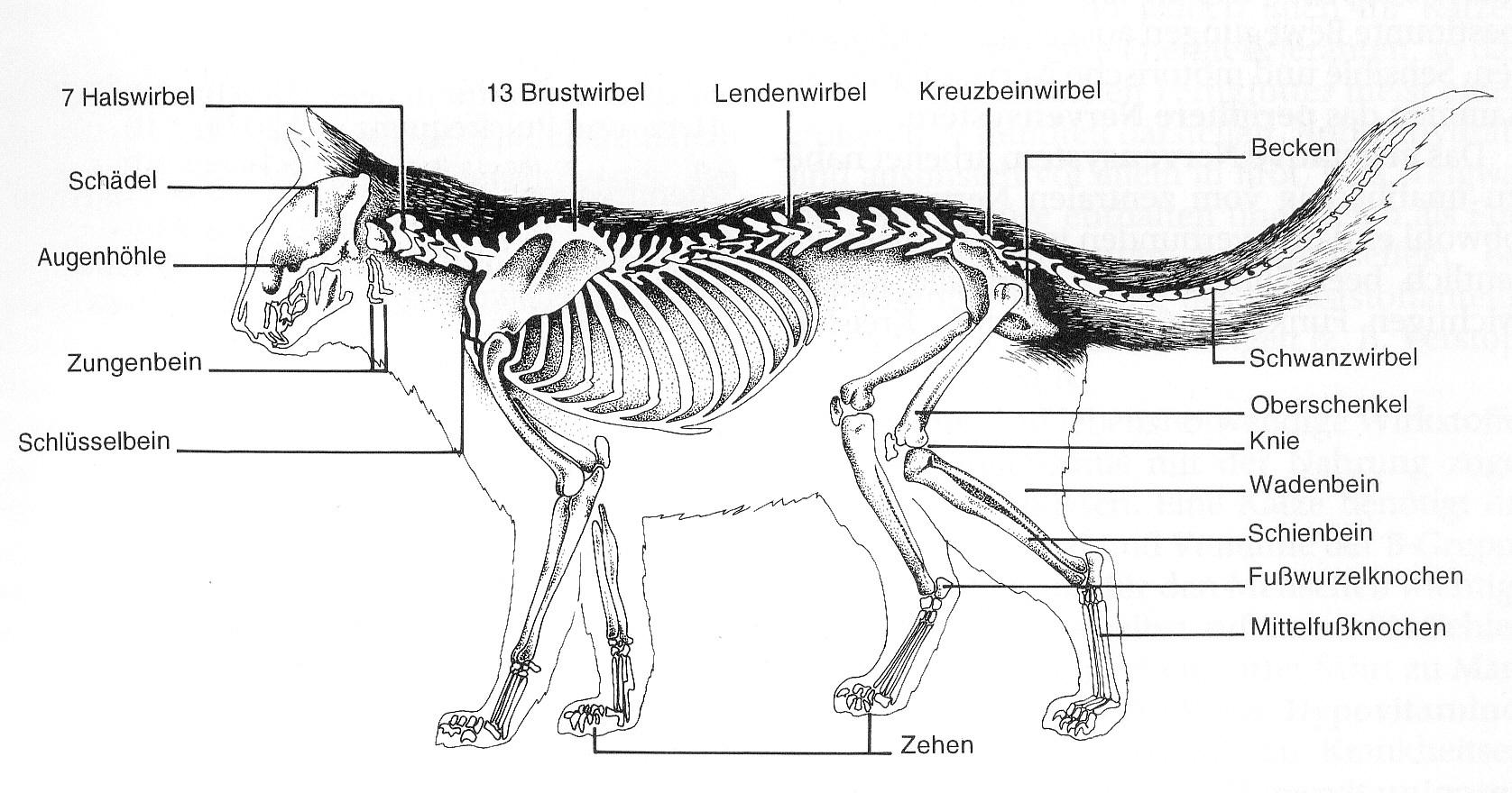 Groß Katze Anatomie Skelett Galerie - Menschliche Anatomie Bilder ...